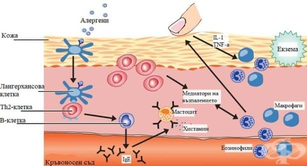 Имунологична функция на кожата - изображение