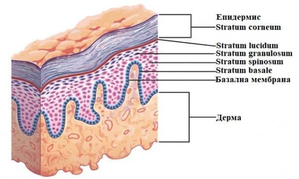 Епидермис - изображение