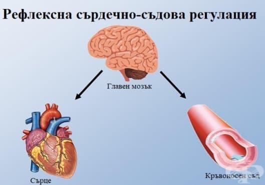 Рефлексна сърдечно-съдова регулация - изображение