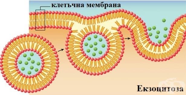 Екзоцитоза - изображение