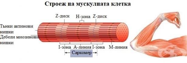 Строеж на мускулната клетка - изображение
