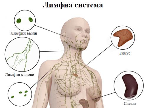 Лимфна система - изображение