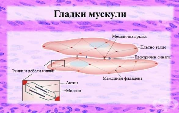Гладки мускули - изображение