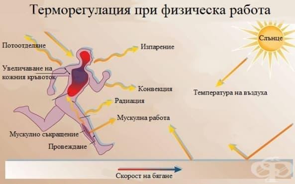 Терморегулация при физическа работа - изображение