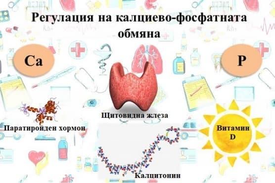 Регулация на калциево-фосфатната обмяна - изображение