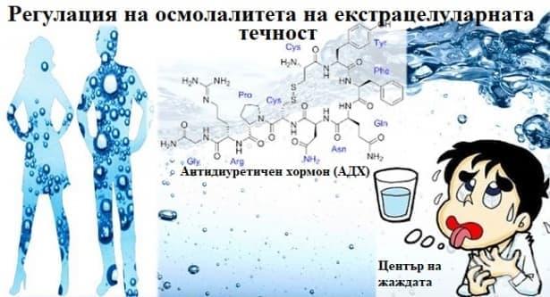 Регулация на осмолалитета на екстрацелуларната течност - изображение