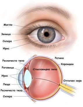 Функционална морфология на окото - изображение