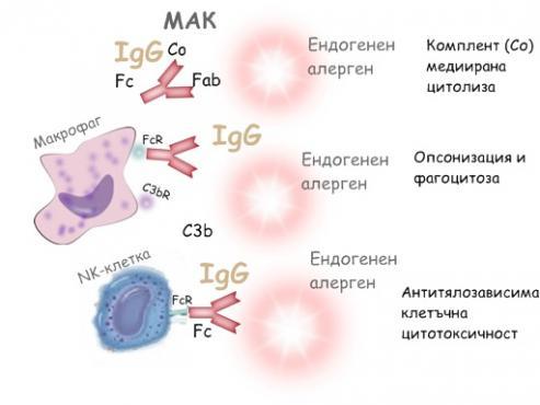II тип алергични реакции - изображение