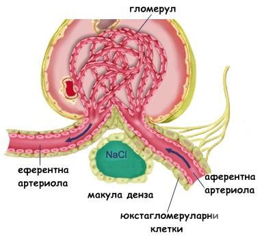 Юкстагломеруларен апарат - изображение