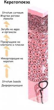Кератопоеза - изображение