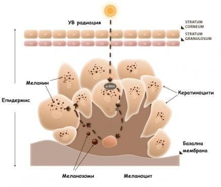 Меланогенеза - изображение