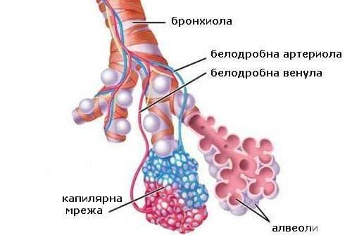 Алвеоли - изображение