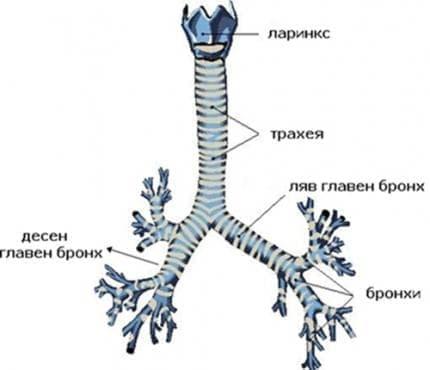 Бронхи - изображение