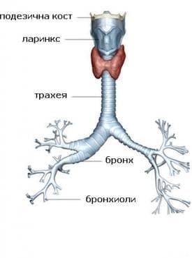 Бронхиоли - изображение