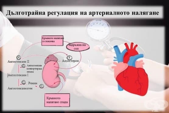 Дълготрайна регулация на артериалното налягане - изображение