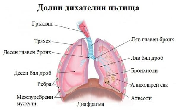 Долни дихателни пътища - изображение