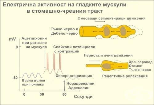 Електрична активност на гладките мускули в стомашно-чревния тракт - изображение
