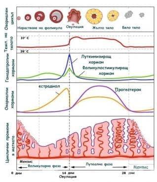 Естрогени - изображение
