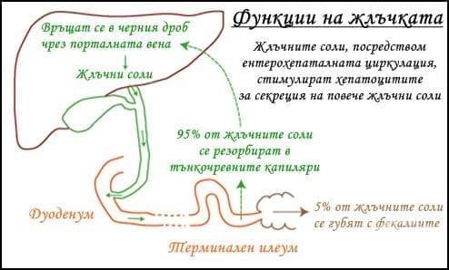 Функции на жлъчката - изображение
