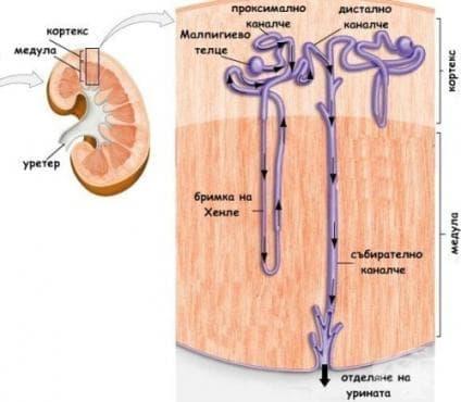 Функционална анатомия на бъбреците - изображение