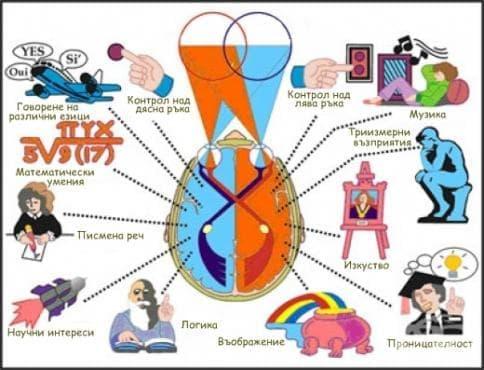 Функционална асиметрия на мозъчните хемисфери - изображение