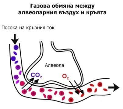 Газова обмяна между алвеоларния въздух и кръвта - изображение