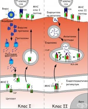 Главен комплекс на тъканната съвместимост - изображение