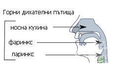 Горни дихателни пътища - изображение