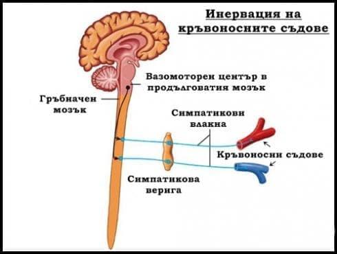 Инервация на кръвоносните съдове - изображение