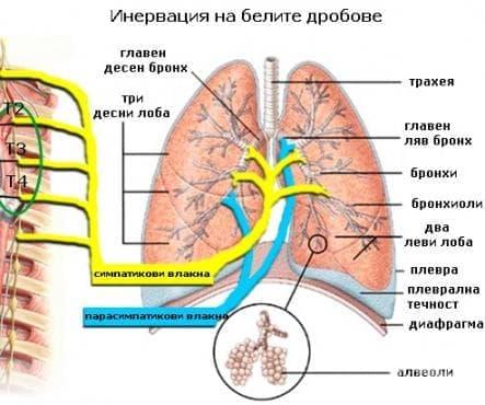 Инервация на белите дробове - изображение