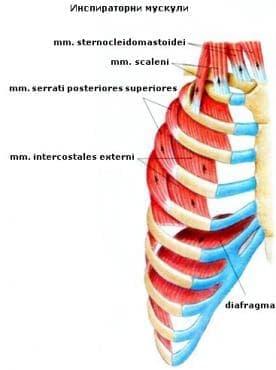 Инспираторни мускули - изображение