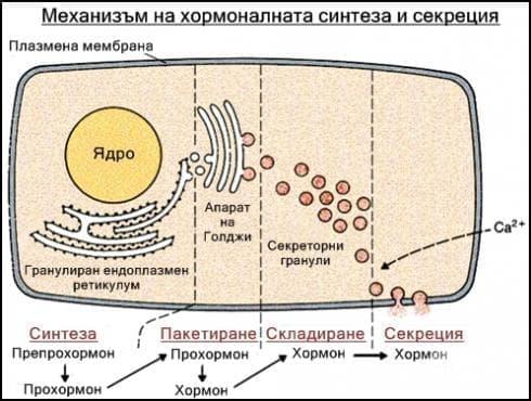Класификация и синтез на хормони - изображение