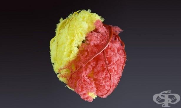 Особености на коронарното кръвообращение - изображение