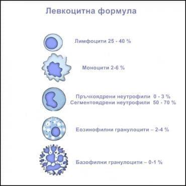 Левкоцитна формула - изображение