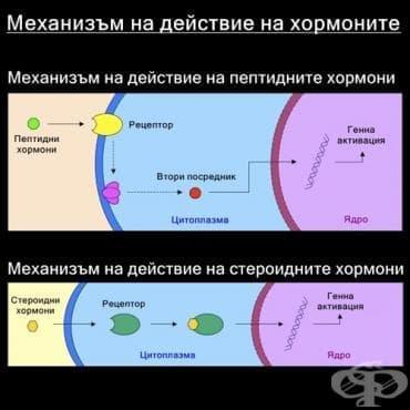 Механизъм на действие на хормоните - изображение