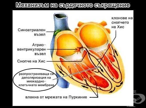 Механизъм на сърдечното съкращение - изображение