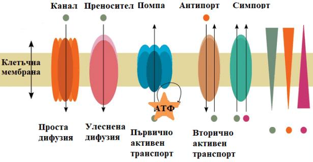 Мембранен транспорт - изображение