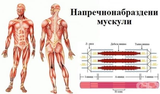 Напречнонабраздени мускули - изображение