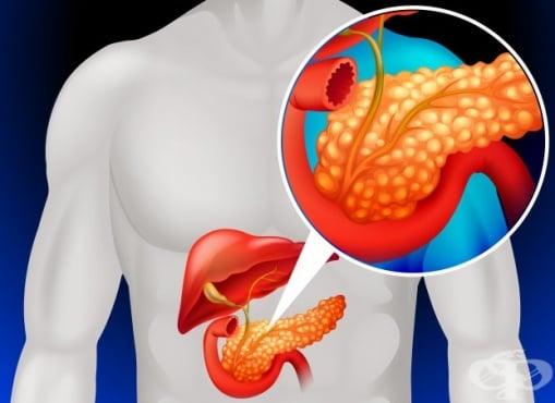 Функция и хормони на задстомашната жлеза - изображение