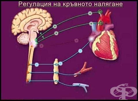 Регулация на кръвното налягане - изображение
