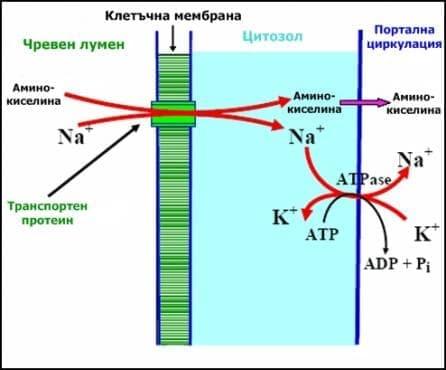 Резорбция на белтъци - изображение
