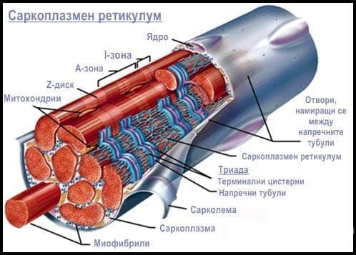 Саркоплазмен ретикулум - изображение