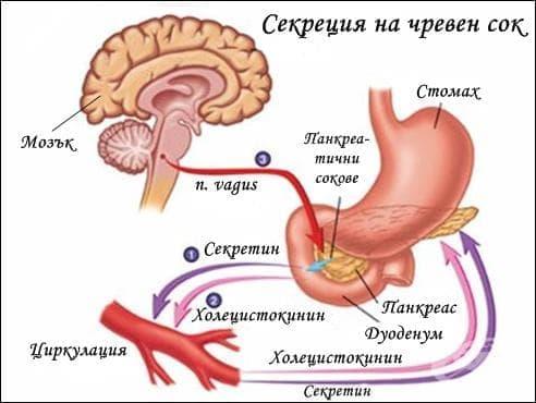 Секреция на чревен сок - изображение