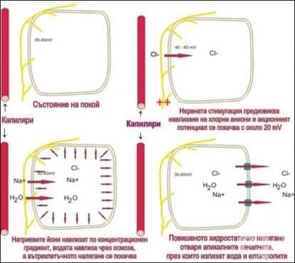 Секреция на вода и неорганични соли - изображение