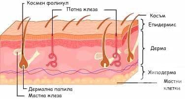 Секреторна функция на кожата - изображение