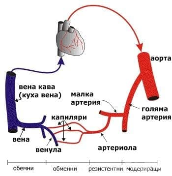 Системно кръвообращение - изображение