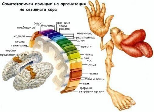 Соматосетивна система - изображение