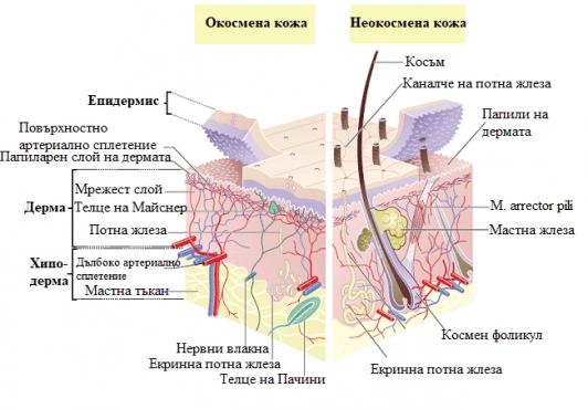 Функционална морфология на кожата - изображение