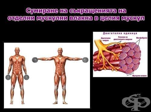 Сумиране на съкращенията на отделните мускулни влакна в целия мускул - изображение