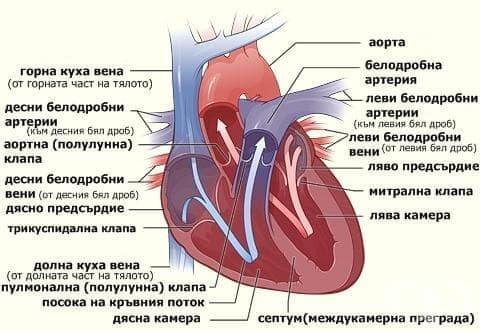 Сърдечен цикъл - изображение